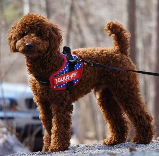 Poodle Julius-K9 harness