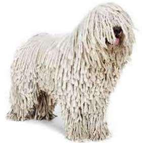 Hungarian Komondor - Medium dog breed