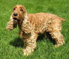 Medium dog race - English Cocker Spaniel