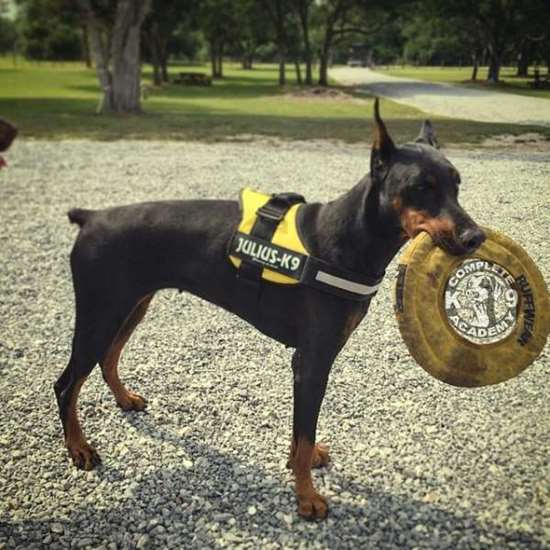 German Pinscher Julius-K9 harness